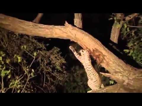 Étrange et émouvant comportement d'une femelle léopard envers un bébé babouin