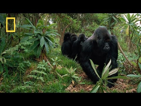 "Nat Geo Wild  - ""Kingdom Of The Apes"" Clash Of Kings - National Geographic"