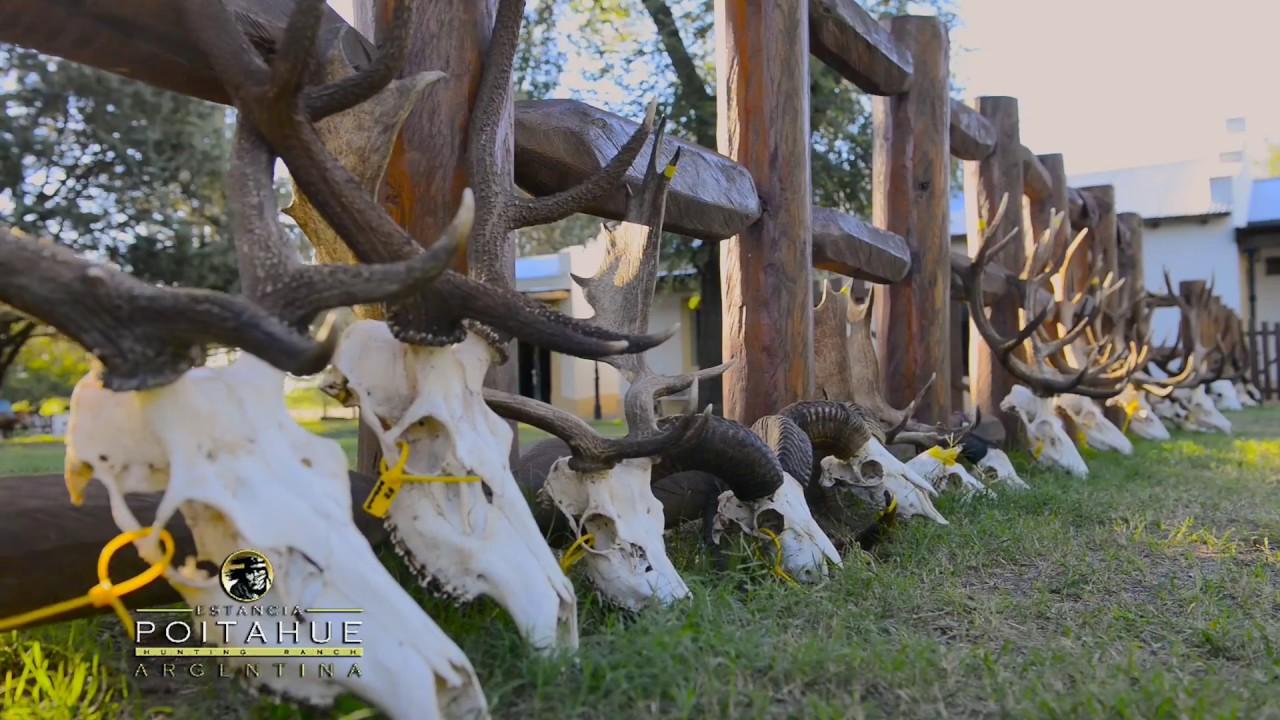 Gus Congemi Red Stag bowhunt at Poitahue Hunting