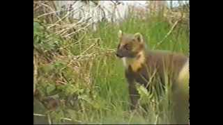 Meet Ireland S Rarest Mammal