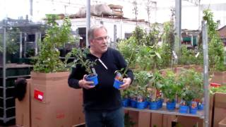#348 Resistente Tomatenpflanzen