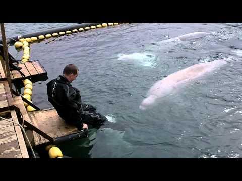 белое море купание с белухой видео