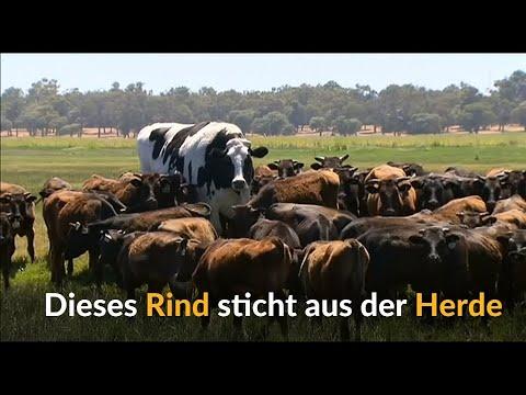 Australien: Dieser Holsteiner Ochse ist fast zwei Met ...