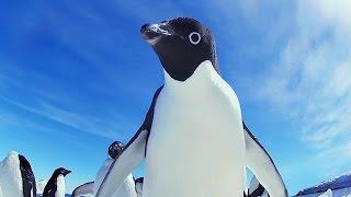 Funny Adélie Penguins take on Emperors!  - 'Snow Chick' Kate Winslet
