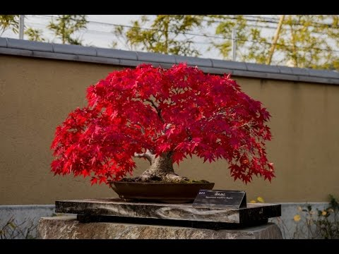 What Is a Red Maple Leafed Hibiscus?