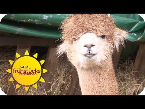 Trendtier 2018: Alpaka! Besuch auf der Alpaka-Farm |  ...