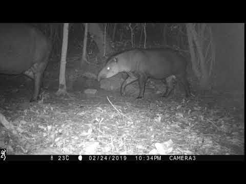 Male female South American tapir (Tapirus terrestris)