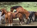 foto Horse Breeding Process