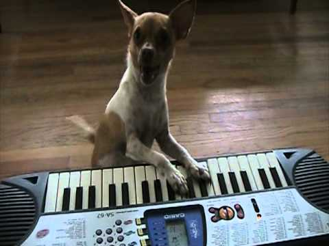 Miguel the Chihuahua Plays Keyboard
