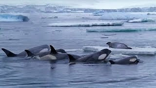 Killer whales hunting seals on ice – behind the scenes in Antarctica – BBC Earth