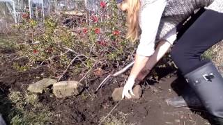 Propagating shrubs - Layering, cutting