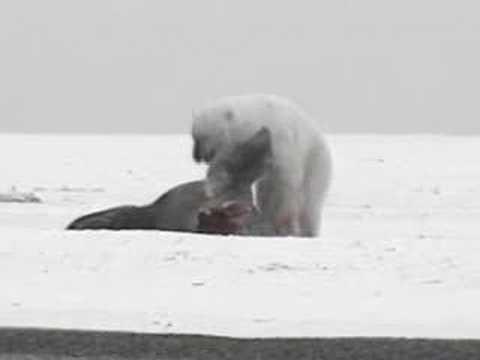 Walrus vs Polar Bear vs Bear