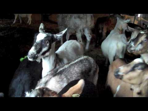 2009 Beekman Holiday Video Card from the Goats