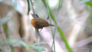 Black-capped Babbler
