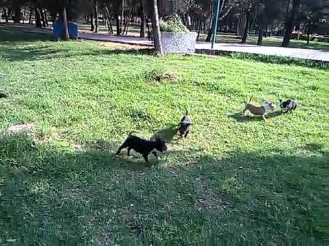 french bulldogs and bull terriers playing