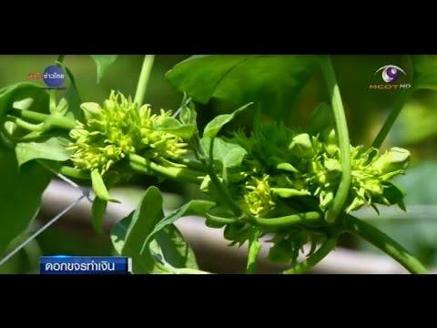 เกษตรทำเงิน - ปลูกดอกขจรทำรายได้หลักแสนต่อปี