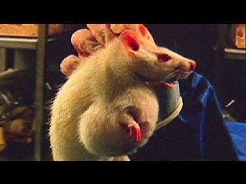 studio choc: tumori multipli nei topi alimentati con mais ogm