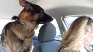 Pies zrozumiał, że jadą do weterynarza! Jego reakcja rozbawiła właścicieli do łez!