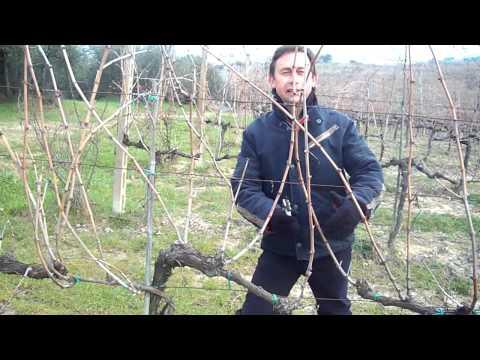 La potatura della vite - L'agrotecnico Roberto Abate a Villa Petriolo_www.robertoabate.it