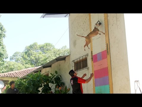 jumping dogs: champion pit bull can leap up four metre walls!