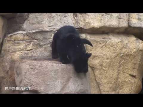 王子動物園でジャガーの赤ちゃん公開