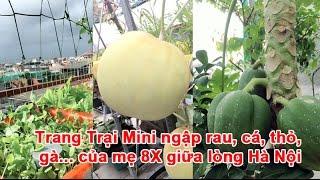 Trang Trại Mini ngập Rau, Cá, Thỏ, Gà... của mẹ 8X giữa lòng Hà Nội Không chỉ có sự hiện diện của đầy đủ các loại rau xanh, quả sạch mà khu vườn trên sân thư...