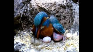 Robert E Fuller: Kingfisher Coughing up a Pellet