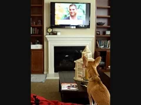 Chihuahua, jumping and barking at dog on TV