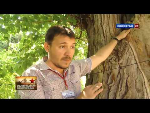 Деревья Сталинграда. Выпуск от 27.08.2016.