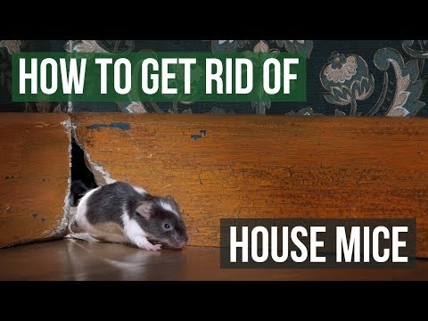 How to Get Rid of House Mice (4 Easy Steps)