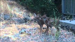 More on the deer family in my garden