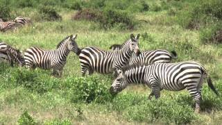 Amboseli National Park Kenya  City new picture : The wildlife in the Amboseli National Park (Kenya)