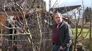 #569 Frostschaden und Winterhärte bei Feigen