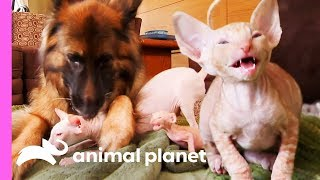 Five Cornish Rex Kittens Meet Some New Fluffy And Scaly Friends | Too Cute! by Animal Planet