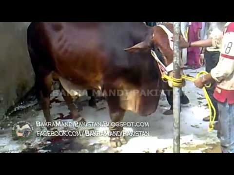 Eid ul azha qurbani - Thanks for Watching Subscribe https://www.youtube.com/user/BakraMandiPakistan Facebook: https://www.youtube.com/user/BakraMandiPakistan Bakra Mandi Pakistan ...