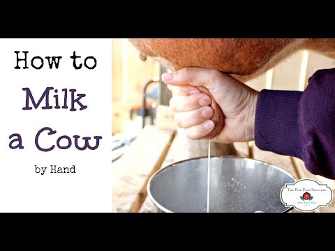 How to Milk a Cow By Hand (or goat)