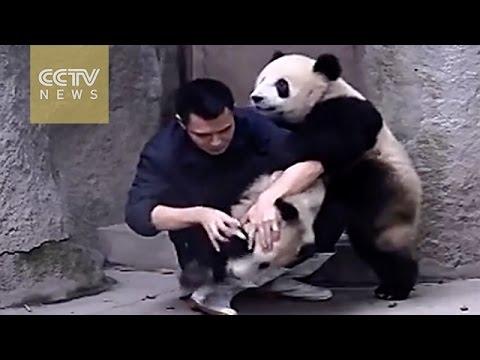 超可愛!!熊貓不想吃藥竟跟飼育員摔角!!其中一隻還不小心被過肩摔...