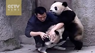 Cute Alert! Clingy Pandas Don't Want To Take Their Medicine