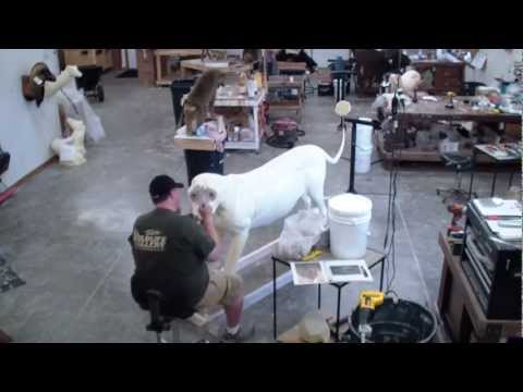 Taxidermy Time Lapse – Lion