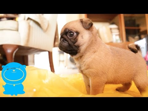 Baby Pug Puppy Goes Crazy Over Sound of Rain Coat