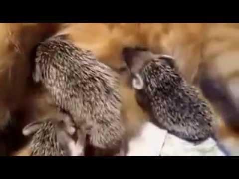 una dolcissima mamma gatta adotta dei ricci rimasti orfani