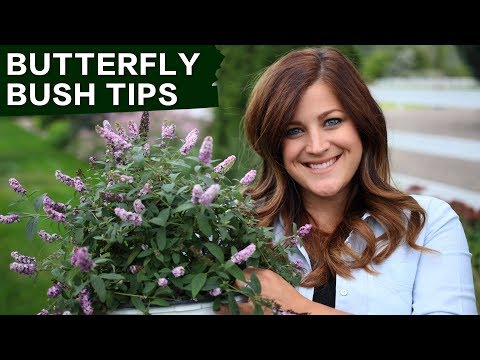 Butterfly Bush Care Tips // Garden Answer