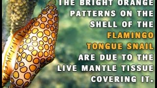 Lesser known Facts About Flamingo Tongue Snails