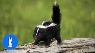 Baby Skunks Playing & Stomping - Animal Compilations