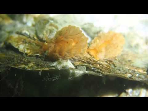 Zeeuwse zeenaaktslakken zoeken