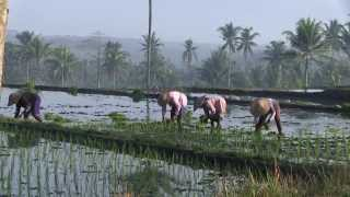 COMPLEX ADAPTIVE RICE CULTIVATION