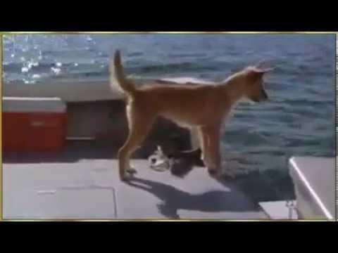 Yunus Balığı Denize Düşen Köpeğe Yardım Ediyor...