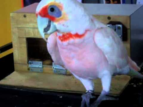 Eastern Long Billed Corella works out his puzzle box