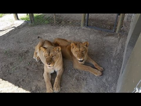 Maggie & Sonja - Rescued Circus Lionesses