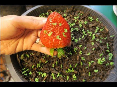 Cách ươm hạt dâu tây ở Mỹ.How to grow strawberries from seed. - Thời lượng: 15:51.